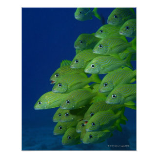 School of french bluestriped and margate grunts poster