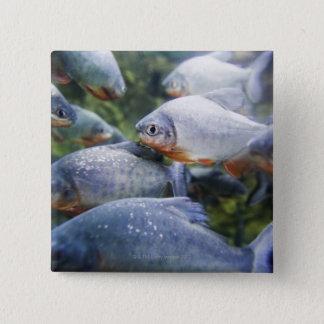 School of Piranhas (Pygocentrus nattereri) 15 Cm Square Badge