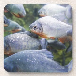 School of Piranhas (Pygocentrus nattereri) Coaster