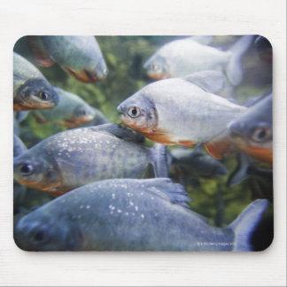 School of Piranhas (Pygocentrus nattereri) Mouse Pad
