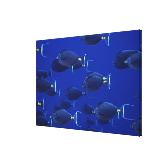 School of smooth-headed unicornfish canvas print