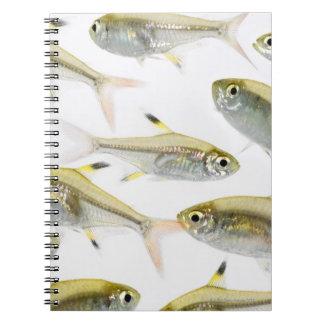 School of X-ray tetra fish (Pristella Notebook