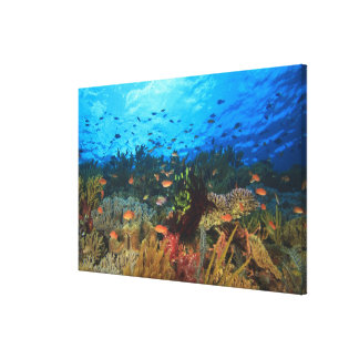 Schooling Anthias fish, Wetar Island, Banda Canvas Print