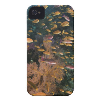 Schooling Fairy Basslets iPhone 4 Cover