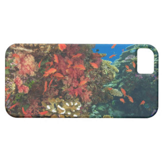 schooling Fairy Basslets  (Pseudanthias 3 iPhone 5 Cases