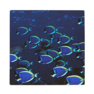 Schooling Powder Blue Surgeonfish Wood Coaster