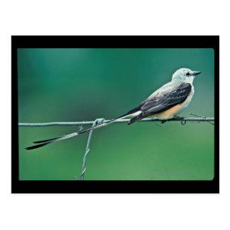 Scissor tailed flycatcher postcard