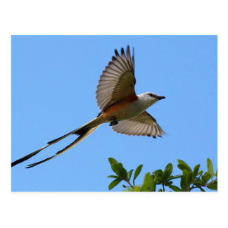 Scissor Tailed Flycatcher Postcard