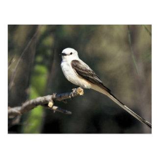 Scissor-tailed Flycatcher Postcard