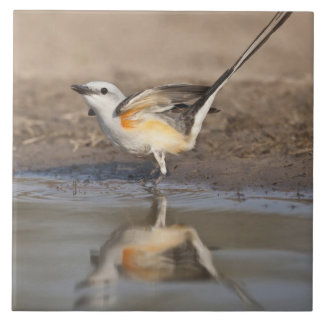Scissor-tailed Flycatcher reflected in pond Tile
