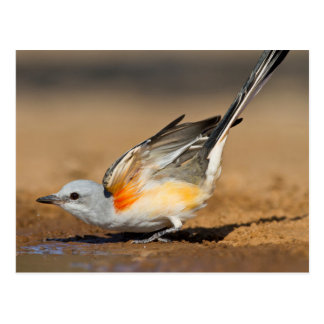 Scissor-Tailed Flycatcher (Tyrannus Forficatus) Post Card