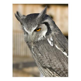 Scops Owl Portrait Postcard