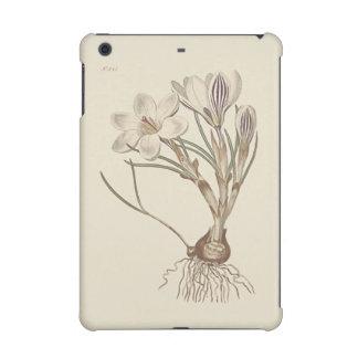Scotch Crocus Botanical Illustration