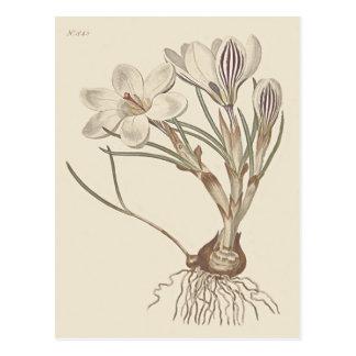 Scotch Crocus Botanical Illustration Postcard