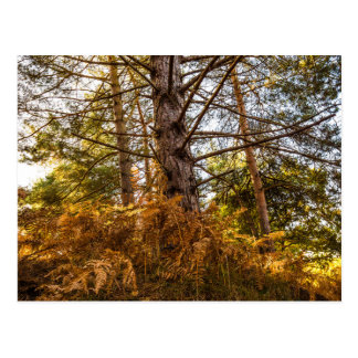 """Scotch Pine"" design postcards"