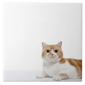 Scottish Fold Cat Large Square Tile