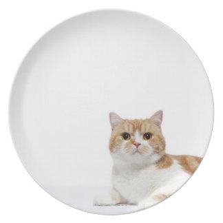 Scottish Fold Cat Plate