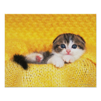 Scottish Fold; is a breed of cat with a natural Poster