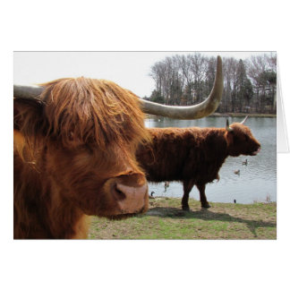 Scottish Highland Cattle ~ card