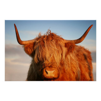 Scottish Highland Cow in Scotland, Highlander Poster