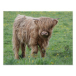 Scottish Highland cow photograph poster