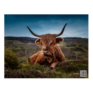 Scottish Highland longhorns Rancher Postcard