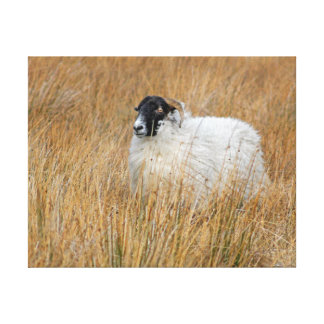 Scottish Moorland sheep photograph canvas