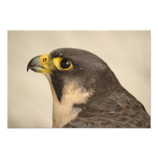 Scottish Peregrine Falcon Portrait Photo Print