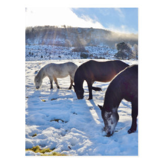 Scottish Ponies Postcard