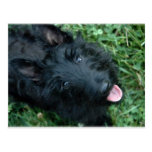 Scottish Terrier in Grass  - Cute Scotty Postcard