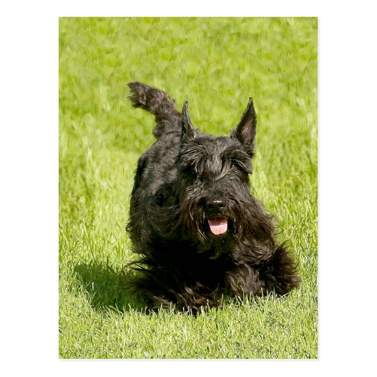 Scottish Terrier Running Free Postcard