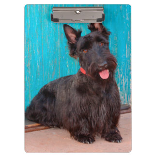 Scottish Terrier sitting by colorful doorway Clipboard