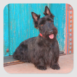 Scottish Terrier sitting by colorful doorway Square Sticker