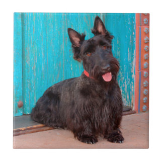 Scottish Terrier sitting by colorful doorway Tile