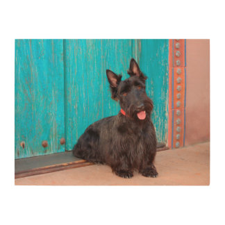 Scottish Terrier sitting by colorful doorway Wood Wall Decor