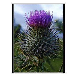 Scottish Thistle Fine Art Photography Postcard