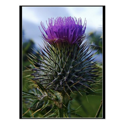 Scottish Thistle Fine Art Photography Post Cards