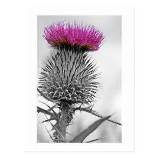 Scottish Thistle Postcard
