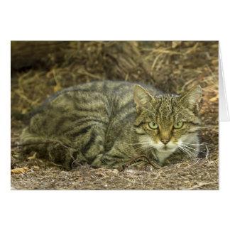 Scottish Wild Cat Greeting Cards