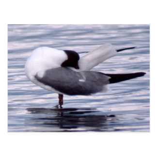 Scratching Gull Postcard