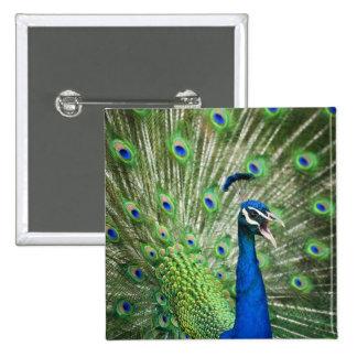 Screaming peacock 15 cm square badge