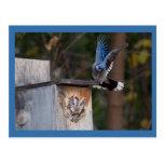 Screech-Owl Harassed by Blue Jay Postcard