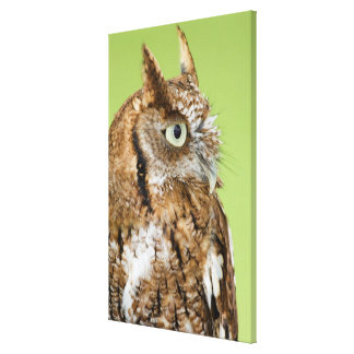 Screech owl portrait canvas print