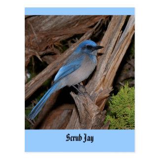 Scrub Jay Postcard