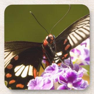 SE Asia, Thailand, Doi Inthanon, Papilio polytes 2 Coaster