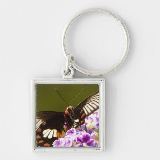 SE Asia, Thailand, Doi Inthanon, Papilio polytes 2 Key Chains