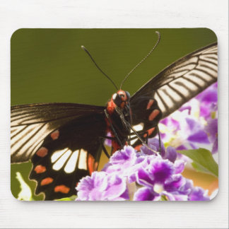 SE Asia, Thailand, Doi Inthanon, Papilio polytes 2 Mousepads
