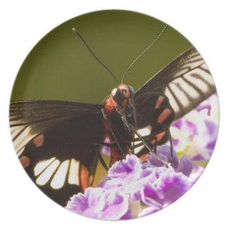 SE Asia, Thailand, Doi Inthanon, Papilio polytes 2 Plate