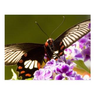 SE Asia, Thailand, Doi Inthanon, Papilio polytes 2 Postcard