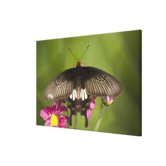 SE Asia, Thailand, Doi Inthanon, Papilio polytes Canvas Print